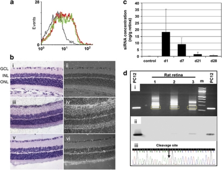 Localization, stability and RNAi activity of intravitreally injected siCASP2. ( a ) Detection of Cy3 fluorescence in isolated RGC 1 h (red line) or 18 h (green line) following single intravitreal injection of 40 μ g Cy3-siRNA per rat eye. FACS analysis displaying results obtained from representative one out of two retinal tissue pools analysed per time point are shown. ( b ) Representative micro-autoradiographs of paraffin sections (counterstained with haematoxylin and eosin) from untreated ((i), (ii)) and siCASP2-injected rat eyes ((iii)–(iv)), which were hybridized with either siCASP2-specific ((i)–(iv)) or with a nonspecific ((v), (vi)) control 33 P-labelled probe ((i), (iii), (v)) – bright field images, ((ii), (iv), (vi)) – corresponding dark field images. In dark field images, hybridization signals are white dots over all retinal layers in sections of siCASP2-injected eyes hybridized to the specific probe ((iv)) and were especially prominent in the GCL (arrow). No signal in the GCL is detected in control sections ((ii), (vi)) (exposure 24 h, original magnification × 20). The eyes for in situ hybridization analysis were enucleated at 2 h after intravitreal injection of 20 μ g siRNA. At least 10 eyes from each group were analysed from 2 to 3 different experiments. ( c ) Quantification of siCASP2±S.D. in retina at different times after intravitreal injection of 20 μ g per eye siCASP2 ( n =6). Control retinas were obtained from intact non-injected eyes. ( d ) Detection of siCASP2-mediated RNAi using RLM-RACE: (i) EtBr-stained agarose gel with electrophoresed RLM-RACE products from siCASP2-transfected PC12 cells (size control) and from retinas collected at 4 h after intravitreal injection of <t>PBS</t> (1); 20 μ g siCNL (2); or 20 μ g siCASP2 (3) (yellow boxes indicate gel regions excised for cloning and subsequent colony sequencing); (ii) autoradiograph of the Southern blot of the gel shown in (i) after hybridization with radiolabelled RLM-RACE junction-specific pr