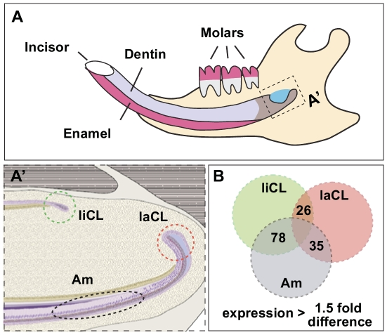 miRNA expression analysis of distinct cell populations in the adult mouse incisor. (A) Cartoon depiction of the adult mouse incisor. (A') Three distinct regions of the adult mouse incisor were isolated for miRNA microarray analysis. liCL, lingual cervical loop; laCL, labial cervical loop; Am, ameloblasts. (B) The number of miRNA transcripts that showed greater than 1.5-fold differential expression (p