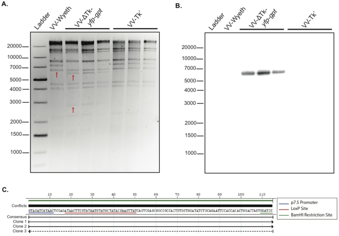 Confirmation of genomic composition of 3 independent recombinant VV-ΔTk viruses. ( A ) An ethidium bromide stained DNA gel of genomic HindIII restriction digests of viral DNA isolated from parental VV (Wyeth Strain), 3 clones of VV-ΔTk- yfp-gpt and 3 clones of VV-ΔTk'. Arrows indicate the Tk insertion site (VV-Wyeth), and the unique bands that result from insertion of the yfp-gpt cassette (VV-ΔTk- yfp-gpt ). ( B ) Southern hybridization of the DNA gel in A identifying the yfp insert present in the genome of the VV-ΔTk- yfp-gpt clones, but not in parental VV-Wyeth or the VV-ΔTk' clones. ( C ) DNAStar sequence alignment at the yfp-gpt insertion site of DNA isolated from the 3 VV-ΔTk' clones post Cre passage.