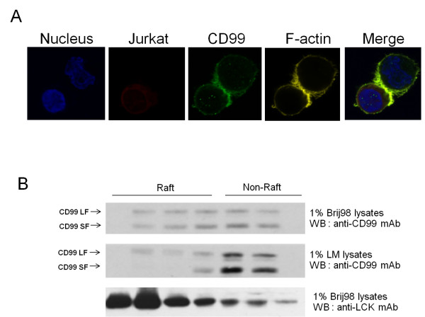 CD99 is recruited into the IS and lipid rafts . (A) DDAO-SE pre-labeled Jurkat T cells were incubated with SEB-loaded Raji B cells. Cells were then plated onto a cover slip, fixed, stained with anti-CD99 mAb followed by Alexa Fluor 488-conjugated goat anti-mouse IgG antibodies, TRITC-phalloidin for F-actin and Hoechst 33258 for the nucleus. The stained cells were visualized by confocal fluorescence microscopy. The green and yellow images represent the localization and distribution of CD99 and F-actin, respectively. The nuclei and Jurkat cells are shown in blue and red, respectively. (B) Jurkat cells were homogenized to isolate cell membranes, which were then solubilized in lipid raft preserving detergent 1% Brij-98 or lipid raft disrupting detergent 1% Lauryl maltoside (LM) and subjected to gel filtration on Sepharose 4B. The obtained fractions were analyzed by Western immunoblotting using anti-CD99 and anti-Lck mAbs.