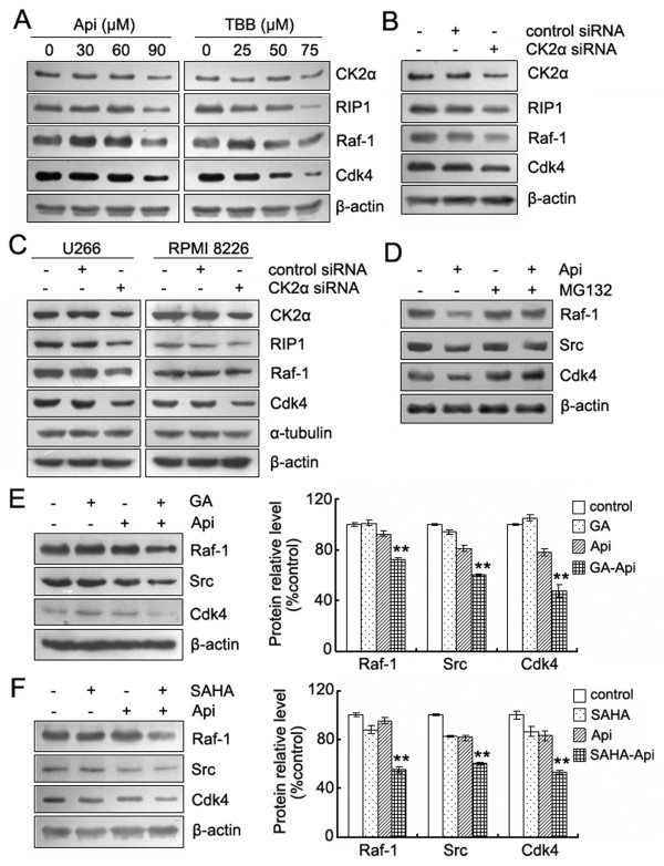 Apigenin-induced proteasome-dependent degradation of Hsp90/Cdc37 client proteins are correlated with inhibition of CK2 . (A) HeLa cells were treated with the indicated concentrations of apigenin or TBB for 24 h. The protein levels of CK2α, RIP1, Raf-1 and Cdk4 were detected by western blot analysis. (B) HeLa cells were transiently transfected with control siRNA or CK2α siRNA for 48 h. Whole-cell lysates were analyzed by western blotting using the indicated antibodies. (C) Next, siRNA was introduced intoU266 and RPMI 8226 cells using electroporation. After 48 h, the cells were harvested to detect the protein levels by western blot. β-actin, as well as α-tubulin, served as loading control. (D) U266 cells were pretreated with MG132 (1 μM) for 1 h, and the cells were subsequently treated with apigenin (90 μM) for an additional 12 h. Whole-cell lysates were subjected to western blot analysis using antibodies against Raf-1, Src, Cdk4 and β-actin. (E) and (F) U266 cells were incubated with or without the Hsp90 inhibitor GA (0.2 μM) or SAHA (1 μM) for 24 h in the presence or absence of 30 μM apigenin. Whole-cell lysates were subjected to western blotting to determine the levels of Raf-1, Src, Cdk4 and β-actin. The bar graphs on the right show the percentage of intensities of the protein band from each treatment relative to the controls, which were defined as 100%. Values represent the means ± SD. *Significant difference from the three groups was designed by ANOVA, ** p