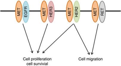 Proposed model for the roles of signalling pathways activated by heterodimers of MET and either EGFR, HER2, HER3, or RET in lung cancer cells with MET amplification.