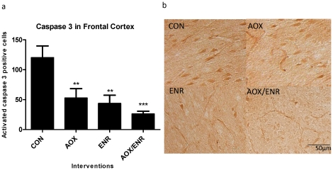 Immunohistochemical staining for caspase 3 in aged canine brains. a ) Caspase 3 immunohistochemical staining in frontal cortices of aged dogs treated with AOX and/or ENR interventions showed significant reduction in expression of active caspase 3. **p