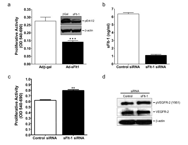 sFlt-1 inhibits endothelial cell proliferation and VEGF receptor phosphorylation . (a) Cell proliferation after 48 hours of treatment in HUVEC infected with an adenovirus encoding sFlt-1 (Ad-sFlt1) or β-galactosidase control (Ad-βGal). Western blot demonstrating decreased Erk1/2 phosphorylation in HUVEC infected with Ad-sFlt-1 compared with Ad-β-gal control (insert). (b) Dramatic reduction of sFlt-1 release from HUVEC 24 hours after transfection with sFlt-1 siRNA. (c) Cell proliferation after 48 hours in sFlt-1 siRNA transfected HUVEC. (d) Western blot showing VEGF receptor-2 (VEGFR-2) phosphorylation at tyrosine 951 in HUVEC transfected with sFlt-1, or control siRNA. VEGFR-2 and β-actin were used as a loading control. Data are expressed as mean (± SEM) or representative of three or more independent experiments performed in triplicate. ** P