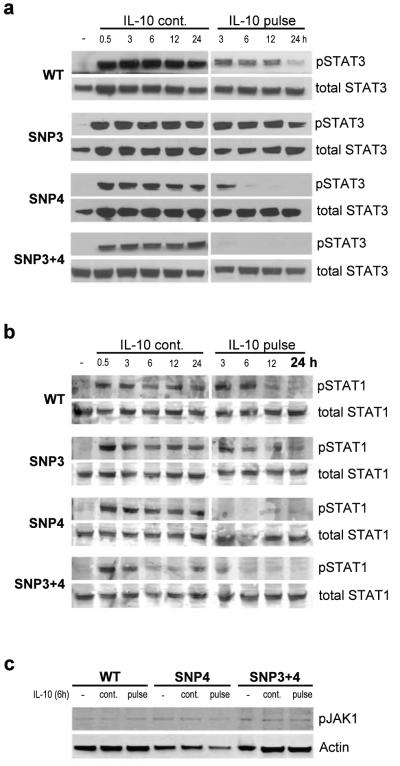 Dynamics of STAT3, STAT1 and JAK1 phosphorylation in HeLa cells expressing wildtype or mutant IL10R1 HeLa cells transfected with IL10R1-WT,-SNP3, -SNP4 or –SNP3+4 were cultured in the absence (−) or presence of IL-10 (IL-10 cont.), or treated with an IL-10 pulse for 30 min (IL-10 pulse). After 0.5, 3, 6, 9, 12 and 24h, cells were lysed and phosphorylation of STAT3 at Tyr705 (a) and STAT1 at Tyr701 (b) was detected by western blot. (c) JAK1 phosphorylation was detected after 6h (6h IL-10 or 30min IL-10 pulse).