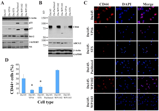 Molecular changes and reduced CD44 + cells in drug-tolerant Du145 cell cultures. A. Whole cell lysate from the cell types indicated was used in Western blotting of p21, p27, Bcl-2, and hTERT and the blot was reprobed for β-actin. NS, non-specific. B. Western blotting of CD44 and ABCG2. The blot was reprobed for β-actin and GAPDH. C–D. Du145 and drug-tolerant Du145 cells were plated on glass coverslips and stained for CD44 using monoclonal antibody. Shown are representative images (C) and quantification of CD44 + cells (D; mean ± S.D, *, P