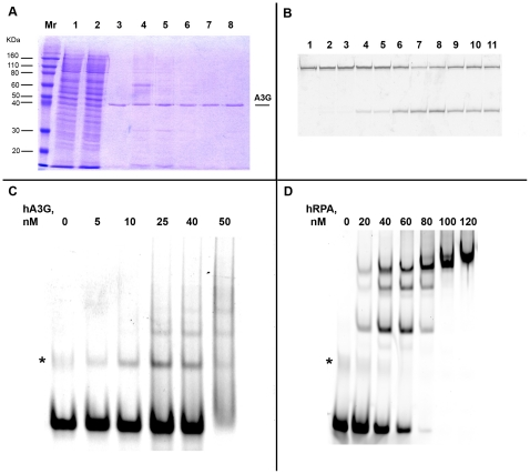 Purification and characterization of proteins used in the study. a. Coomassie-stained 12% SDS-PAGE gel of aliquotes from different steps of A3G purification from HEK293T cells. Mr – molecular weight marker, 1 – clarified lysate, 2 – flow through, 3–8 – different protein-containing fractions, eluted from the resin. b. Deaminase activity of purified A3G, detected in the oligonucleotide assay with uracil-DNA-glycosylase. In this assay, after deaminase converts cytosine to uracil, uracil-DNA-glycosilase removes uracil from the DNA, leading to formation of the AP site, which is further converted into strand break under conditions of high pH and temperature. 1 – UDG alone, 2 - A3G-expressing HEK293T lysate, 3 – clarified lysate, 4 – clarified lysate treated with RNAse, 5 – flow through, 6–11 – different fractions of purified protein. c and d. DNA-binding activity of purified A3G (c) and human RPA (d), detected by electromobility shift assay (EMSA). A3G from fraction 5 (see panel a) was used in this assay. The same oligonucleotide was used for both proteins (c). The band that corresponds to the free oligonucleotide folded to the secondary structure is indicated by the asterisk. Note that in (c) this non-specific band migrates similarly to the fastest A3G-shifted band.