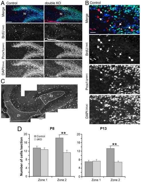 BrdU-positive mossy cell precursors are decreased in the hilus of developing Rac1 N /Rac3 KO mice. Mice were injected twice with BrdU at E12.5–E13 as detailed in the Materials and Methods . BrdU-injected mice were then sacrificed at P8 or P13. ( A ) Sagittal sections of the dorsal hippocampus from P8 Rac3 KO (left panels) and Rac1 N /Rac3 KO (right panels) mice were immunostained with antibodies for BrdU (red) and for Prox1 (green); nuclei were visualized by DAPI (blue). GCL, granule cell layer; hi, hilus. Scale bar: 50 µm. ( B ) Enlargement of the hilar region from the control section shown in ( A ). Arrows point to putative mossy cell precursors identified as BrdU-positive, Prox1-negative cells with a large round nucleus. Arrowheads indicate Prox1-positive granule cells. Scale bar: 12.5 µm. ( C ) Hippocampus from a P8 control mouse stained for BrdU. The areas used for quantification are indicated: zone 1 (Z1) includes the ventricular and subventricular zones and the dentate migratory stream; zone 2 (Z2) includes the hilar region, from which the zone that may include pyramidal cells from the CA3 has been excluded. Scale bar: 50 µm. ( D ) Quantification of BrdU-labelled cells in zone 1 and zone 2 of the hippocampus of Rac3 KO and Rac1 N /Rac3 KO littermates at P8 and P13. Bars are means ± SEM of the number of BrdU-positive cells (zone 1), and of BrdU-positive, Prox1-negative cells with large round nuclei (zone 2). At each stage, BrdU-positive cells were counted from 24–27 sections taken from 3 different mice per genotype. **P