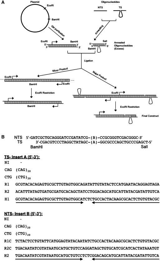 ( A ) Preparation of DNA substrates. The plasmid was cut with restriction enzymes EcoRI and BamHI to yield a fragment containing the T7 RNAP and RNAPII promoters. Oligonucleotides were designed such that, when annealed, they would produce a slip-out and contain BamHI and SalI sticky ends. The olgonucleotides were ligated to the promoter fragment through the BamHI site. Oligonucleotides were not 5′ phosphorylated in order to prevent self-ligation and were used in excess to promote ligation of most promoter fragments to an oligonucleotide. A minor fraction, consisting of promoter fragments ligated through the BamHI site still appeared, however, this fraction does not interfere with our analysis because its transcription product is longer than that produced by our construct of interest. Due to lack of 5′ phosphorylation of oligonucleotides, our substrates contain a nick in the NTS, however, the presence of a nick on the NTS had no effect on the observed transcription arrest ( Supplementary Figure SI6 ). Ligation was followed by EcoRI digestion to obtain the final substrates containing one promoter fragment, with T7 RNAP and RNAPII promoters (designated by the arrow), and a slip-out. ( B ) Sequences used in this study. Oligonucleotides sequences, which will become the TS or the NTS when ligated to a promoter fragment, are shown. Different combinations of oligonucleotides result in different inserts in the middle but have the same flanking sequence (shown on top). The sequence of different inserts is indicated in the 5′ to 3′ direction. NI ('No insert') refers to oligonucleotides containing only the flanking sequence. The designation of inserts is as follows: CAG, 20 CAG repeats; CTG, 20 CTG repeats; R1, random sequence; R1C, complementary to R1; R2, random sequence; R2C, complementary to R2; H1, capable of forming a perfect hairpin; H2, capable of forming a perfect hairpin.