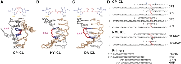 Structure and sequence of TLS polymerase templates. Chemical and 3D structure of the CP (CP ICL, A ), HY (HY ICL, B ) and DA (DA ICL, C ) ICLs. The <t>crosslinked</t> bases are highlighted in blue, the ICL bridge in red. The distance spanning the two crosslinked dG residue is indicated in magenta, highlighting the different degrees of distortion induced by the three ICLs. The DNA structures were generated using PYMOL, using the coordinates 1DDP (A), models generated by molecular modelling in Ref 30 (B); and modelling of the ICL into B-form DNA (C). ( D ) Sequence of the crosslinked oligonucleotides with the location of the CP, HY and DA ICL highlighted in red. The position of the uracil residues used to generate the resected templates (CP2-4, HY2 and DA2) by treatment with UDG and <t>NaOH</t> are indicated in blue. Primers were labeled 5′ with either 6-FAM or HEX fluorophores. The positions are marked as 0 at, minus before and plus after the position of the crosslinked base on the template strand.