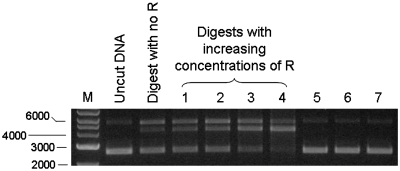 3 nM pBRsk1 plasmid DNA was digested with a substoichiometric amount of nuclease (1 nM) in the presence/absence of different amounts of R subunit. The leftmost lane shows DNA size markers as in Figure 1 . The next two lanes show uncut DNA and the partial cutting of the DNA when the ratio of nuclease to DNA was 1:3. The following lanes show the same ratio of nuclease to DNA of 1:3 but with additional R subunit being added. Ratio of nuclease to R subunit for Lanes 1–4 were 1:1, 1:3, 1:4 and 1:8, respectively. Lane 5, R subunit only. Lane 6, same as Lane 4 but no ATP. Lane 6, same as Lane 4 but no SAM.