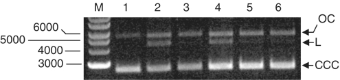 Gel assay to test reactivation of EcoKI by RecBCD. Lane 1, undigested pBRskI (3 nM); Lane 2, partial digest of plasmid using EcoKI (1.5 nM) showing some L DNA; Lane 3, partial digest of plasmid by 1.5 nM EcoKI as in Lane 2 but in the presence of RecBCD (10 nM) showing the removal of the L DNA; Lane 4, after 5 min digestion an additional aliquot of plasmid DNA (3 nM) was added to the partial digest from Lane 2 and incubated for a further 5 min showing no further digestion but an increase in the amount of CCC DNA as expected; Lane 5, after 5 min digestion an additional aliquot of plasmid DNA (3 nM) was added to the partial digest performed in the presence of RecBCD (Lane 3) and incubated for a further 5 min showing the increase in CCC DNA but no extra digestion; Lane 6, after 5 min an additional aliquot of ATP (2 nM), SAM (0.1 mM) and plasmid DNA (3 nM) was added to the partial digest performed in the presence of RecBCD (Lane 3) and incubated for a further 5 min showing that sufficient cofactors were present.