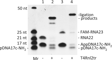 Ligation of adenylated DNA linker made with MthRnl to RNA. AppDNA17c-NH 2 was ligated to RNA22 (lane 2) and FAM-RNA23 (lane 4) using T4 RNA ligase 2 truncated without ATP as described in 'Materials and Methods' section. Lanes 1 and 3 are controls without ligase. Single-stranded RNA size markers (Mr) are included for reference. The products were analyzed by a 15% urea–PAGE.