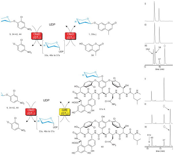 Evaluation of 2-chloro-4-nitrophenyl glycosides as sugar donors in coupled GT-catalyzed transglycosylation reactions. ( a ) The scheme for a single enzyme (TDP-16) coupled system with 4-methylumbelliferone ( 58) as the final acceptor (left) and a representative HPLC analysis (right) using the donor for 6-azido-6-deoxy-D-glucose ( 37 ). Reactions contained 1 mM glycoside donor, 1 mM 58 , 1 mM UDP, and 11 μM TDP-16 in a total volume of 100 μl with Tris-HCl buffer (50 mM, pH 8.5) at 25°C for 24 hour and were subsequently analyzed by HPLC ( Supplementary Methods ). For the representative reaction: (i) control reaction lacking TDP-16; (ii) control reaction lacking UDP; (iii) full reaction where 37 is donor, 58 is acceptor, 59d is desired product and ⋄ represents 2-chloro-4-nitrophenolate. ( b ) The scheme for a double enzyme (TDP-16 and GtfE) coupled system with vancomycin aglycon ( 60 ) as the final acceptor (left) and a representative HPLC analysis (right) using the donor for 6-azido-6-deoxy-D-glucose ( 37 ). Reactions contained 1 mM glycoside donor, 0.1 mM 60 , 1 mM UDP, 11 μM TDP-16, and 11 μM GtfE in a total volume of 100 μl with Tris-HCl buffer (50 mM, pH 8.5) at 25°C for 24 hour and were subsequently analyzed by HPLC ( Supplementary Methods ). For the representative reaction: (i) control reaction lacking TDP-16; (ii) control reaction lacking GtfE; (iii) full reaction where 37 is donor, 60 is acceptor, 61e is desired product and ⋄ represents 2-chloro-4-nitrophenolate. Sample preparation and HPLC parameters, along with chromatograms ( Supplementary Fig. 14 and 17 ), conversion rates, and mass characterization ( Supplementary Table 4 and 5 ) for all products are presented in supporting online material .