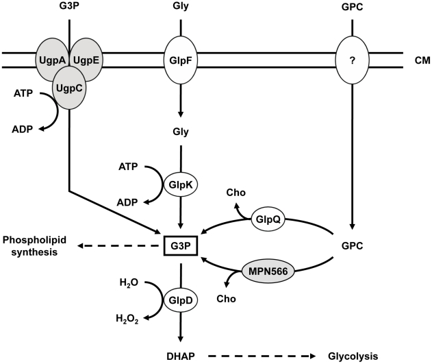 Schematic illustration of the machinery for uptake and conversion of carbohydrates leading to the formation of glycerol-3-phosphate in M. pneumoniae . UgpC (MPN134), UgpA (MPN135), and UgpE (MPN136) form a putative ABC transport system for glycerol-3-phosphate, whereas GlpF (MPN043) is the glycerol uptake facilitator. The glycerol kinase GlpK (MPN050) and the glycerol-3-phosphate oxidase GlpD (MPN051) metabolize glycerol to the glycolytic intermediate dihydroxyacetone phosphate. Hydrogen peroxide formation by GlpD is crucial for the cytotoxic effects of M. pneumoniae . GlpQ (MPN420) and MPN566 encode two paralogous glycerophosphodiesterases that may be able to metabolize glycerophosphocholine to glycerol-3-phosphate and choline. The uptake system for glycerophosphocholine is so far unknown. Proteins highlighted in grey seem not to fulfill the predicted function (this work). CM, cell membrane; DHAP, dihydroxyacetone phosphate; G3P, glycerol-3-phosphate; GPC, glycerophosphocholine; Gly, glycerol; Cho, choline.