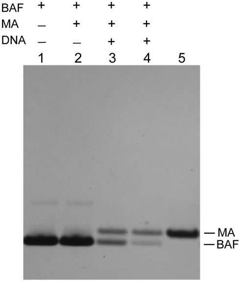 Co-elution of MA with BAF in pull-down assays in the presence of DNA. Pull-down assays were performed on a Ni chelating sepharose column equilibrated with binding buffer. BAF was then applied in binding buffer and the column was extensively washed. Sonicated salmon sperm DNA (50 µl 0.02 (lane 3) or 0.06 µg/µl (lane 4)) was then applied and the washing step was repeated. 50 µl of 0.15 µg/µl MA was then applied in binding buffer and the washing step was repeated. Finally, BAF was eluted with 70 µl 1 M imidazole. Proteins were electrophoresed in a 4–12% Bis Tris NuPAGE gel (Invitrogen) and stained with Coomassie. Lane 5 shows MA alone as a mobility standard. In the presence of DNA some BAF remains trapped on the column during the elution step because it forms a cross-bridged network with DNA; it elutes with SDS (data not shown).