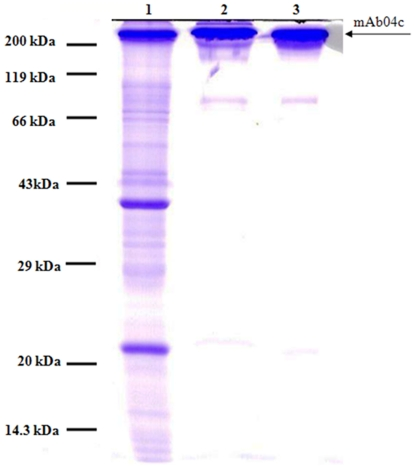 Coomassie blue stained none-reducing SDS-PAGE of <t>mAb04c</t> before and after crystallization or protein A purification. 7 µg of <t>IgG</t> was loaded per lane. Lanes: (1) clarified mAb04c culture supernatant; (2) washed mAb04c crystals, redissolved in 100 mM sodium acetate pH 4.0; (3) mAb04c, purified via protein A chromatography.