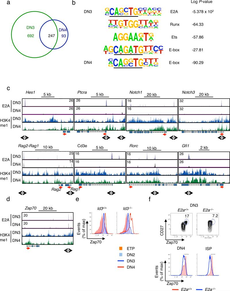 Global E2A occupancy declines during β-selection. Genome-wide E2A occupancy and patterns of H3K4 mono-methylation were examined in thymocytes isolated from either untreated Rag2 –/– mice (DN3) or Rag2 –/– mice injected with anti-CD3ε antibody (DN4). ( a ) Venn diagram displaying the distribution of E2A binding sites in DN3 versus DN4. ( b ) Cis-regulatory sequences associated with E2A occupancy in DN3 and DN4, identified by comparing enriched peaks to randomly selected genomic DNA sequences. Letter size directly relates to nucleotide frequency. P values are shown and indicate enrichment for a given motif as compared to randomly selected regions. ( c ) E2A occupancy and patterns of <t>H3K4me1</t> across the Hes1, Ptcra, Notch1, Notch3, Rag2/1, Cd3e, Rorc and Gfi1 loci in the DN3 and DN4 compartments. E2A occupancy in DN3 is shown in gray versus black for the DN4 compartment. H3K4me1 is indicated in blue in DN3 versus green in DN4. ( d ) E2A occupancy and patterns of H3K4me1 across the Zap70 locus. ( e ) Expression of Zap70 in wild-type and Id3-deficient DN1-4 thymocyte compartments. ( f ) Expression of Zap70 and CD27 in day 16.5 dpc fetal wild-type and E2A-deficient DN3 (top) and DN4 as well as ISP (bottom) thymocytes.