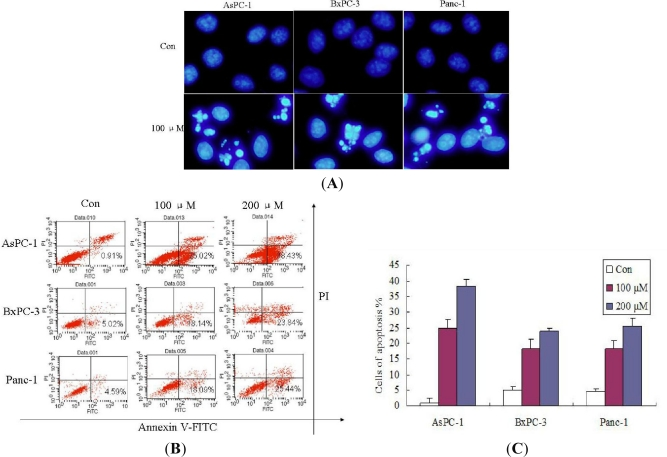 Silibinin induced cell apoptosis in AsPC-1, Panc-1 and BxPC-3 cells. ( A ) Cells were treated with 2‰ (v/v) DMSO (Control) and 200 μM Silibinin for 24 h. Cells were then fixed and stained with DAPI. Stained nuclei were observed under a fluorescent microscope using a blue filter; ( B ) Cells treated with 100, 200 μM of Silibinin for 48 h were assessed for apoptosis by staining with Annexin V-FITC and PI; ( C ) Cells treated with 100, 200 μM of Silibinin for 48 h were assessed for apoptosis by staining with Annexin V-FITC and PI. The results are shown from one of three experiments with similar results. Each point represents the mean ± SD of three independent experiments. Significance was determined using a Student's t-test ( p