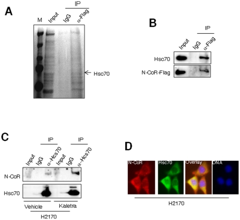 """N-CoR is a substrate of chaperone mediated autophagy (CMA). A, Column purified cytosolic extracts of H2170 cells was incubated with flag-tagged N-CoR ectopically expressed in 293T cells. N-CoR was immunoprecipitated with anti-flag antibody and proteins co-precipitated with N-CoR were resolved in SDS-PAGE, excised and their identity was determined by MS. B, The association between Flag-tagged N-CoR and Hsc70 was reconfirmed in co-immunoprecipitation assay performed essentially as described in legend of figure 4A . After detection of co-precipitated Hsc70 with Hsc70 antibody (upper panel), the membrane was re-probed with flag antibody to quantify the amount of precipitated N-CoR protein (lower panel). In """"input"""" lanes, an aliquot of whole cell extract was loaded. C, Hsc70 was immunoprecipitated from the extracts of vehicle or 5 µM Kaletra treated H2170 cells and level of co-precipitated N-CoR was determined with N-CoR antibody (upper panel). The membrane was re-probed with Hsc70 antibody (lower panel). In """"input"""" lanes, an aliquot of whole cell extract was loaded. D, N-CoR (red) and Hsc70 (green) distribution in H2170 cells was determined through immunoflorescence analysis using confocal microscopy. The intensity of yellow signals signifies the degree of co-localization of two proteins. DNA was labeled with DAPI (blue)."""