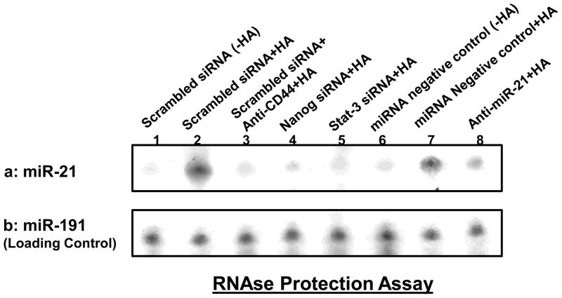 Detection of HA/CD44-induced miR-21 production in HSC-3 cells Detection of miR-21 in HSC-3 cells using RNase protection assay as described in the Materials and methods. A: Autoradiogram of miR-21 detected in HSC-3 cells incubated with scrambled sequence siRNA [without HA (lane 1) or with 2h HA treatment (lane 2) or pretreated with anti-CD44 antibody for 1h followed by HA addition for 2h (lane 3) or incubated with Nanog siRNA plus 2h HA treatment (lane 4) or incubated with Stat-3 siRNA plus 2h HA treatment (lane 5) or incubated with miRNA-negative control [without HA (lane 6) or with 2h HA treatment (lane 7)] or incubated with an anti-miR-21 inhibitor plus 2h HA treatment (lane 8). (Autoradiogram of miR-191 in each gel lane was used as a loading control).