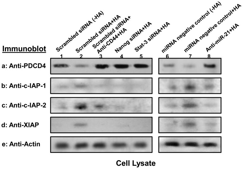 Analyses of HA/CD44-mediated PDCD4 and IAP expression in HSC-3 cells Detection of HA/CD44-induced PDCD4 and IAP (cIAP-1, cIAP-2 and XIAP) expression in HSC-3 cells was performed by solubilizing cells with 1% Nonidet P-40 (NP-40) buffer followed by immunobloting with anti-PDCD4 antibody or anti-cIAP-1 antibody or anti-cIAP-2 antibody or anti-XIAP antibody, respectively as described in the Materials and Methods. First, cell lysates were prepared from HSC-3 cells treated with scrambled sequence siRNA [without HA (lane 1) or with HA for 24h (lane 2)] or treated with anti-CD44 antibody for 1h followed by 24h HA addition (lane 3) or treated with Nanog siRNA plus HA for 24h (lane 4) or treated with Stat-3 siRNA plus HA for 24h (lane 5) or treated with miRNA-negative control [without HA (lane 6) or with HA for 24h (lane 7)] or treated with anti-miR-21 inhibitor plus HA for 24h (lane 8). These samples were then immunoblotted with anti-PDCD4 antibody (a) or anti-cIAP-1 antibody (b) or anti-cIAP-2 antibody (c) or anti-XIAP antibody (d), respectively. The amount of actin detected by anti-actin-mediated immunoblot (e) in each gel lane was used as a loading control.