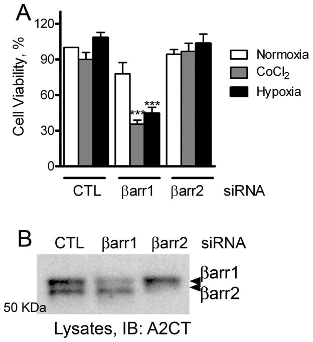 A) MDAMB-231 cells transfected with siRNA targeting either no mRNA (= control, CTL), βarr1 or βarr2 were treated with 100 μM CoCl2 or grown under 1% O2. Untreated cells grown under normal oxygen levels represent the normoxia condition. 24 hours later, the amount of ATP was determined using CellTiter-Glo reagent (Promega). Cell viability was calculated as percentage ATP present according to the manufacturer's protocol. The data presented are mean ± SEM from three experiments. *** p