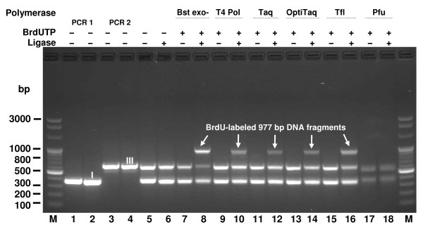 Assessment of various DNA polymerases for their ability to incorporate BrdU . Complete and incomplete specific incorporation reactions (Figure 1) were carried out with 5 DNA Polymerases: Bst exo - (thermophilic), T4 (mesophilic), Taq (thermophilic), OptiTaq (thermophilic blend) and Pfu (hyperthermophilic) in the presence of BrdUTP. Lanes M, Perfect 100 bp Ladder; lane 1, PCR 1 fragment (379 bp); lane 2, BsaI-cleaved PCR 1 fragment; lane 3, PCR 2 fragment (625 bp); lane 4, BsaI-cleaved PCR 2 fragment; lane 5, BsaI restriction fragments: I (363 bp) and III (609 bp). Lanes 6-18 reactions with specified DNA Polymerases: lane 6, restriction fragments: I and III, T4; lane 7, restriction fragments: I and III, Bst exo - ; lane 8, restriction fragments: I and III, Bst exo - , T4 DNA Ligase; lane 9, restriction fragments: I and III, T4; lane 10, restriction fragments: I and III, T4, T4 DNA Ligase; lane 11, restriction fragments: I and III, Taq; lane 12, restriction fragments: I and III, Taq, T4 DNA Ligase; lane 13, restriction fragments: I and III, OptiTaq; lane 14, restriction fragments: I and III, OptiTaq, T4 DNA Ligase; lane 15, restriction fragments: I and III, Tfl; lane 16, restriction fragments: I and III, Tfl, T4 DNA Ligase; lane 17, restriction fragments: I and III, Pfu; lane 18, restriction fragments: I and III, Pfu, T4 DNA Ligase. I, III BsaI restriction fragments numbered as in Figure 1.