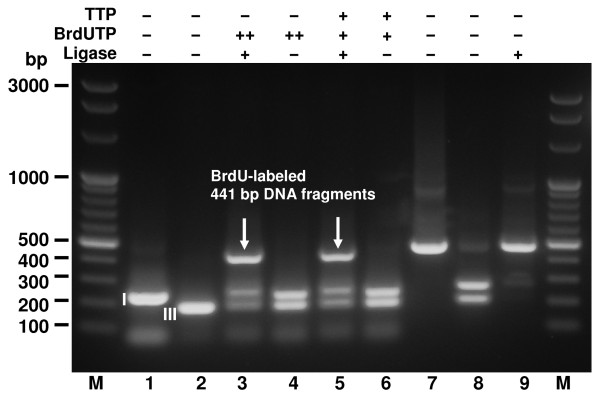 Incorporation of double and single BrdU residues by Bst exo - DNA Polymerase into the 441 bp hybrid molecule . Incorporation reactions using BrdUTP alone or in combination with dTTP were carried out with Bst exo - DNA Polymerase. Lanes M, Perfect 100 bp Ladder (selected bands marked); lane 1, 260 bp BsaI-cleaved PCR (restriction fragment I); lane 2, 208 bp BsaI-cleaved PCR (restriction fragment III); lane 3, BrdUTP-filled restriction fragments I and III, T4 DNA ligase; lane 4, BrdUTP-filled restriction fragments I and III; lane 5, dTTP-filled restriction fragment I and BrdUTP-filled restriction fragment III, T4 DNA ligase; lane 6, dTTP-filled restriction fragment I and BrdU-filled restriction fragment III. Lanes 7-9, controls of enzymes functional purity: lane 7, control PCR fragment with internal BsaI site; lane 8, BsaI-cleaved control PCR fragment; lane 9, BsaI-cleaved control PCR fragment after addition of T4 DNA Ligase; lane M, Perfect 100 bp Ladder. I, III BsaI restriction fragments numbered as in Figure 1.