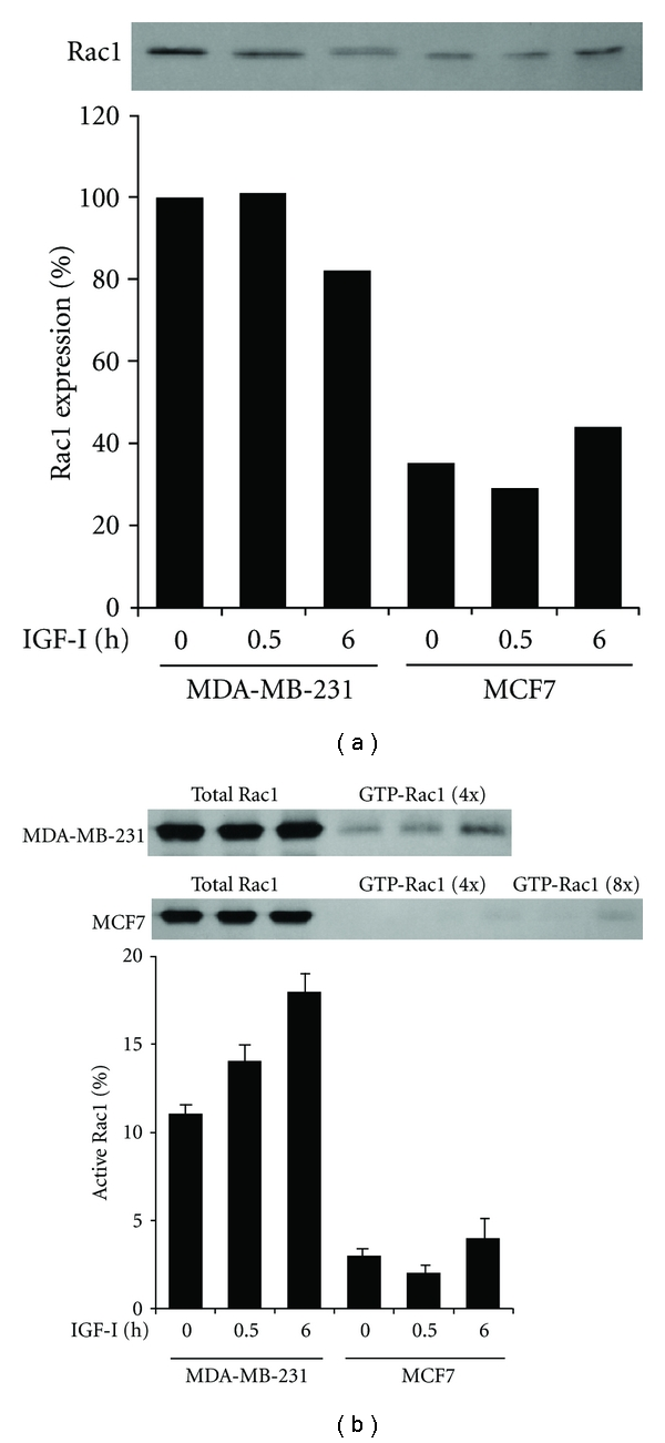Overexpression and activation of Rac1 by IGF-I in MDA-MB-231 but not in MCF7 cells. (a) Cells after stimulation with IGF-I for 0, 0.5, or 6 h were lysed and processed for immunoblotting with anti-Rac1 antibody. Band intensity was measured and values are given as Rac1 expression relative to that in unstimulated control MDA-MB-231 cells. (b) After stimulation with IGF-I, total and activated Rac1 were immunoprecipitated from the cell lysates and 4- or 8-fold concentrated cell lysates, respectively, and processed for immunoblotting with anti-Rac1 antibody. Band intensity was measured and the mean (SD) values of triplicate experiments are given as the amount of active Rac1 relative to total Rac1.