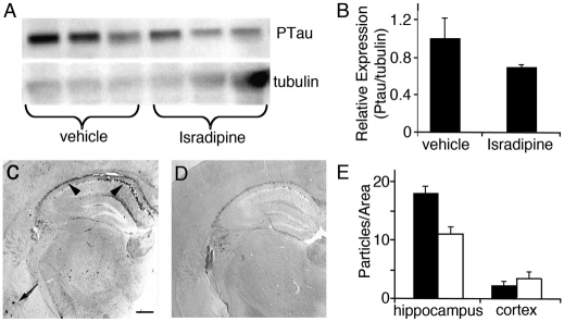 Chronic treatment with isradipine inhibits the accumulation of tau- P in 3×TgAD mice. (A) Western blot of tau- P levels (detected with the AT8 antibody) in brain lysates from vehicle-treated versus isradipine-treated AD mice. Lower gel shows β-tubulin levels. (B) Quantification of tau- P levels in western blots (normalized to β-tubulin) shows that isradipine treatments reduced overall tau- P levels, although this difference was not significant. (C) Representative brain section from a vehicle-treated AD mouse, immunostained for tau- P (using biotinylated AT8); (D) immunostained brain section from an isradipine-treated AD mouse; C,D illustrate the most dramatic differences seen between vehicle- and isradipine-treated animals. Arrowheads indicate hippocampus; arrow indicates cortex. Scale bar: 400 μm. (E) Quantification of tau- P burden, as detected by immunohistochemistry. Isradipine treatments caused a reduction in tau- P levels in the hippocampus but not the cortex.