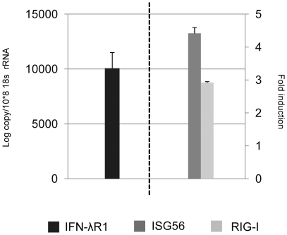 Responsiveness of P. alecto splenocytes to IFN-λ2 treatment and the relative expression level of IFNλR1. Cells were treated for 6 hours before they were collected for RNA extraction and qRT-PCR analysis. The left axis shows the relative expression level of IFNλR1 (mean of three experiments). The right axis shows the ISG56 and RIG-I fold induction in response to IFN-λ2 treatment (mean of three experiments). The expression level was normalized to the housekeeping gene 18s rRNA. The error bars represent standard errors.