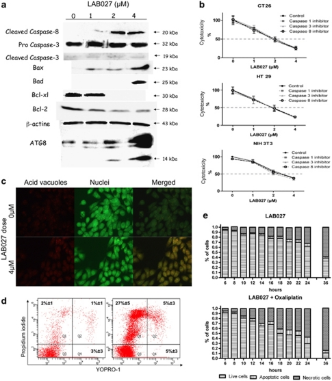 Pro-apoptotic effects of LAB027 ( a ). HT29 cells were treated or not with increasing concentrations of LAB027 for 24 h. Expressions of cleaved caspase-8, pro-caspase-3 and cleaved caspase-3, Bax, Bad, Bcl-xL, Bcl-2 and ATG8 proteins were analyzed by western blot. Proliferation rates ( b ) of CT26, HT29 and NIH3T3 cells incubated with various concentrations of LAB027 alone or associated with either 40 μ M DEVD-FMK (caspase-3 inhibitor) or 40 μ M IETD-FMK (caspase-8 inhibitor) 40 μ M ZVAD-FMK (broad-spectrum caspase inhibitor). Results are means±S.E.M. of three independent experiments. ( c ) Immunofluorescence microscopy of HT29 cells stained with acridine orange and treated for 24 h or not with 4 μ M LAB027. An increased number of cells with stained acidic vesicular organelles (orange fluorescence) in 4 μ M LAB027 treated cells was observed. ( d ) Fluorescence-activated cell sorting analysis of cell death. Apoptosis/necrosis was analyzed by flow cytometry using the Membrane Permeability/Dead Cell Apoptosis Kit with YO-PRO-1 and Propidium iodide on HT29 treated (right panel) or not (left panel) with 4 μ M LAB027 for 24 h. Necrotic cells are PI positive and YO-PRO-1 positive or negative. Apoptotic cells are PI negative and YO-PRO-1 positive. Viable cells are negative for both dyes. One representative experiment of three is shown. ( e ) Kinetic apoptosis/necrosis evolution in HT29 cells treated with 4 μ M LAB027 alone or with oxaliplatin 0.5 μ M