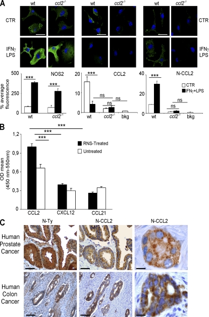 The RNS-modified CCL2 chemokine can be detected by specific antibodies. (A) Macrophages were cultured from the bone marrow of either wild-type (wt) or ccl2 −/− /ccr2 −/− (indicated for simplicity as ccl2 −/− ) mice. After stimulation with IFN-γ and LPS, macrophages were stained for NOS2, CCL2, or N-CCL2 (VHH-12BM). Background fluorescence with isotype-matched and secondary antibodies is reported in the graph and indicated as bkg. The graphs depict the mean fluorescence (mean ± SE, n = 10 ROIs). Statistical analysis was performed by a one-way ANOVA, followed by Tukey's test (***, P