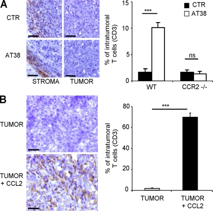 CCL2 nitration/nitrosylation prevents intratumoral T cell infiltration. EG7 tumor samples obtained from either wt or ccr2 −/− mice, treated or not with AT38 for 7 d (A) or MCA-203 tumor samples obtained from wt mice that had received intratumoral injections of CCL2 (0.5 µg in hydrogel; B) were stained for CD3 by immunohistochemistry. The graphs represent the quantification of immunoreactive cells (Student's t test; ***, P