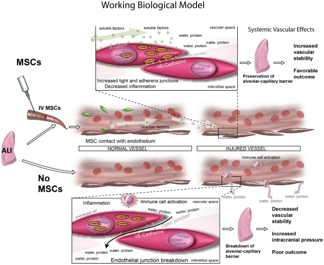 Soluble factors play a role in the effects of IV MSCs in vivo. Figure 7 shows a working biological model of how MSCs may function biologically when delivered IV after HS. MSC attach to pulmonary vascular endothelial cells in the lungs where they produce soluble factor(s) that affect vascular stability in the lungs through modulation of AJs, TJs and checking inflammation. We hypothesize that the soluble factor(s) produced promote local and systemic vascular stability.