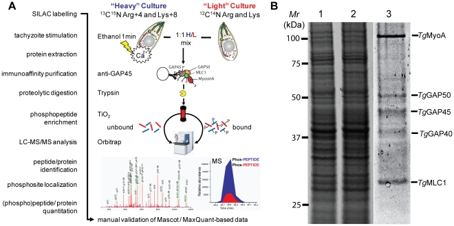 "Quantification of calcium-dependent regulation of phosphorylation sites of Toxoplasma invasion motor complex components. A ) Work flow to identify individual phosphorylation sites and quantitatively assess their responsiveness to calcium signals using a SILAC-based proteomics approach. A 1∶1 mixture of Triton X-100 lysates from ""Heavy"" (H; Arg4/Lys8)-labeled ethanol-stimulated tachyzoites or"