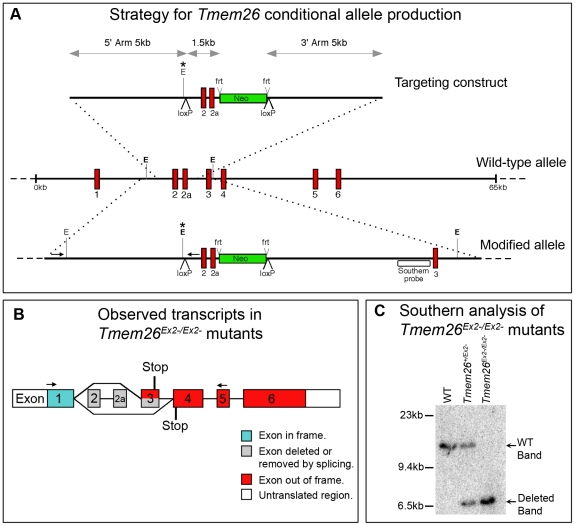 Gene targeting strategy for the Tmem26 locus. ( A ) Targeting construct for Tmem26 conditional inactivation compared to the wild type allele and the floxed Tmem26 allele after homologous recombination. In the presence of Cre recombinase, the region between LoxP sites will be excised, including exon 2, exon 2a (red) and the neomycin selection cassette (green). The neomycin selection cassette can be independently excised by Flp recombinase ( frt sites). A Southern probe (open box) and PCR primers (small arrows) external to the targeting construct were used to screen stem cells for successful homologous recombination. An Eco RV site (E*) was introduced with the targeting construct and was diagnostic during Southern and PCR assays for 5′ LoxP integration. ( B ) Two transcripts were detected, one lacking exons 2 and 2a as predicted, and another variant in which exon 3 was also absent. In both cases exon 1 is retained, and the exons after the deleted exons are out of frame. A premature stop codon is introduced in both cases ( C ) Southern blot showing the wild type and mutant band arising from Cre-mediated excision ( Tmem26 Ex2− ).