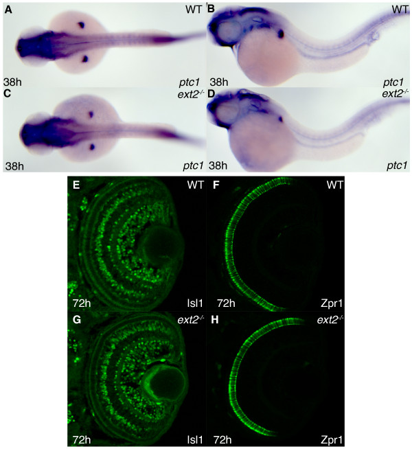 Hh signaling in ext2 mutants elicits normal ptc1 expression and functions normally in differentiation of cells in the retina . Lateral view (A, C) and dorsal view (B, D) of ptc1 expression in 38 hpf WT embryos (A, B) and ext2 mutants (C-D). Asterisks label the developing limbs. The difference in somite staining between A-B and C-D is within the range of individual variation (also see additional figure 3A-B) (E-H) Confocal sections of the retina at 72 hpf, with anterior to the top. Detection of the Isl1 protein (E, G) and Zpr1 protein (F, H) in WT retinas (E-F) and ext2 mutant retinas (G-H) reveal normal Hh signaling in ext2 mutants during patterning of the zebrafish retina.