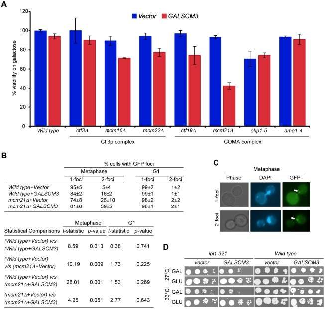 Overexpression of SCM3 causes reduced viability in a subset of kinetochore mutants and premature separation of sister chromatids. (A) GALSCM3 causes reduced viability in kinetochore mutants. A wild-type strain (Y5563) and kinetochore mutants ctf3Δ (YPH1712), mcm16Δ (YPH1714), mcm22Δ (YPH1716), ctf19Δ (YPH1713), mcm21Δ (YPH1715), okp1-5 (YPH1678), and ame1-4 (YPH1676) were transformed with GALSCM3HA (pMB1306) or vector (pRS426 GAL1 ). Equal number of cells from three independent transformants for each strain were plated on SC-URA with either glucose (2%) or galactose (2%). At least 2500 colonies were counted and % viability is expressed as the ratio of the number of colonies on galactose over the glucose media. (B) Overexpression of SCM3 leads to premature separation of sister chromatids in metaphase. Sister chromatid separation was monitored in nocodazole-arrested (metaphase) and alpha factor arrested (G1) cells by counting the number of GFP-LacI foci at the marked pericentromere of ChrIV in a wild-type (SBY818) and mcm21 Δ (SBY1897) strains overexpressing SCM3 (pMB1306) or a vector (pRS426 GAL1 ). At least 300 cells were analyzed for each strain. Pair-wise comparisons using Student's t -test were done to determine the statistical significance between samples. (C) Representative images of metaphase cells showing 1- and 2-GFP LacI foci (see, white arrows) are shown. (D) Overexpression of SCM3 causes lethality in ipl1-321 strain. Serial dilutions (5-fold) of ipl1-321 (SBY630) and wild type (SBY3) strains containing GALSCM3HA (pMB1306) or a vector (pRS426 GAL1 ) were plated on SC-URA with glucose (2%) or galactose (2%) plates and grown at 27°C and 33°C for 5 days.