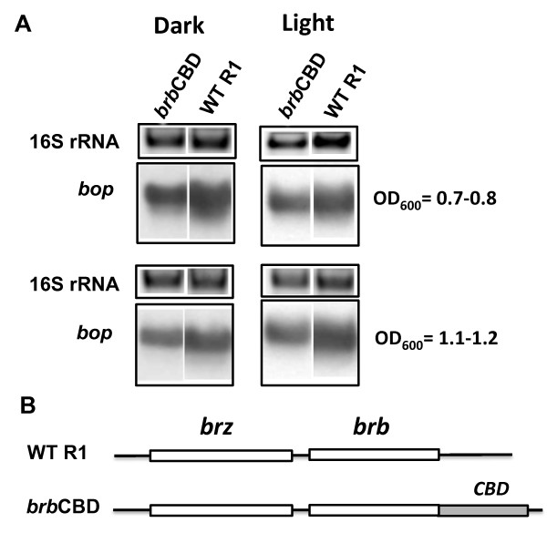Effects of CBD domain insertion in the brb gene on bop transcription . In panel A, the upper blocks represent the 16S rRNA bands on the agarose gel stained by ethidium bromide. The lower blocks show northern blots of total cell RNA after probing with labeled DNA fragments containing the bop gene. Cells were grown in the dark and light. Culture OD 600 at which RNA was extracted is given at right. WT R1, wild-type strain R1; brb CBD, brb CBD gene fusion strain. According to densitometry, the levels of bop mRNA (normalized to 16S rRNA) from the brb CBD mutant corresponded to 67 ± 2% (OD 600 = 07.-0.8), 70 ± 2% (OD 600 = 1.1-1.2) of WT in the dark, and 85 ± 3% (OD 600 = 07.-0.8), 85 ± 2% (OD 600 = 1.1-1.2) in the light. Panel B shows the locations of mutations in the brz and brb genes.