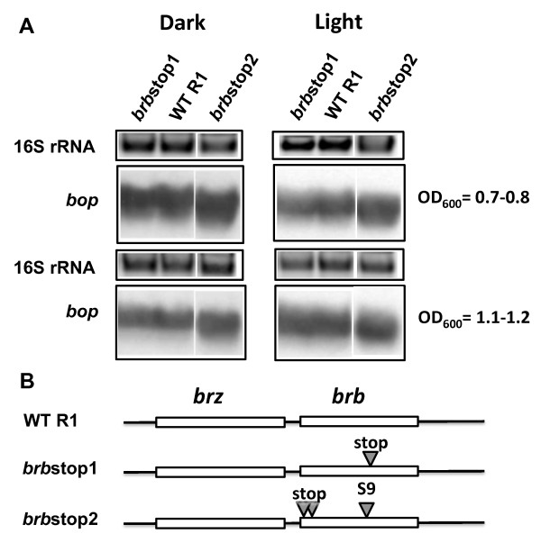 Effects of inactivation of the brb gene translation on bop transcription . In panel A, the upper blocks represent the 16S rRNA bands on the agarose gel stained by ethidium bromide. The lower blocks show northern blots of total cell RNA after probing with labeled DNA fragments containing the bop gene. Cells were grown in the dark and light. Culture OD 600 at which RNA was extracted is given at right. WT R1, wild-type strain R1; brb stop1, strain brb stop1; brb stop2, strain brb stop2. According to densitometry, the levels of bop mRNA (normalized to 16S rRNA) from strain brb stop1 were: 117 ± 5% (OD 600 = 07.-0.8), 86 ± 4% (OD 600 = 1.1-1.2) of WT in the dark, and 106 ± 2% (OD 600 = 07.-0.8), 132 ± 9% (OD 600 = 1.1-1.2) in the light; from strain brb stop2 they were: 175 ± 6% (OD 600 = 07.-0.8), 95 ± 4% (OD 600 = 1.1-1.2) of WT in the dark, and 124 ± 9% (OD 600 = 07.-0.8), 118 ± 11% (OD 600 = 1.1-1.2) in the light. Panel B shows locations of the mutations in the brz and brb genes.