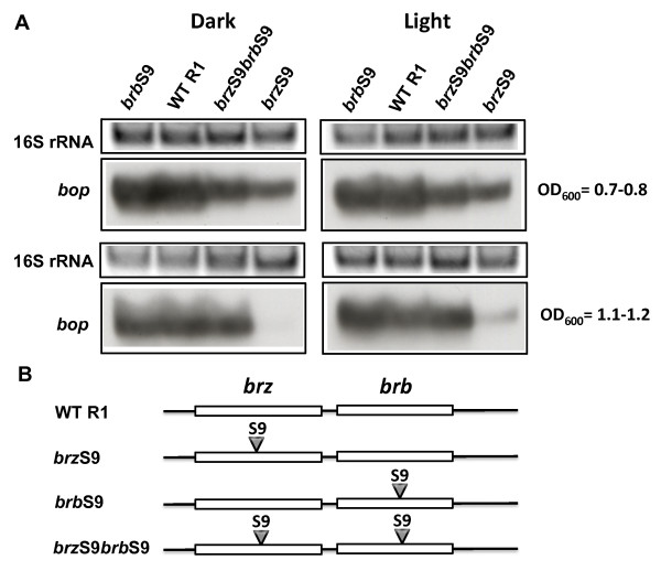 Effects of S9 mutations in the brz and brb genes on bop transcription . In panel A, the upper blocks represent the 16S rRNA bands on the agarose gel stained by ethidium bromide. The lower blocks show northern blots of total cell <t>RNA</t> after probing with labeled <t>DNA</t> fragments containing the bop gene. Cells were grown in the dark and light. Culture OD 600 at which RNA was extracted is given at right. WT R1, wild-type strain R1; brz S9, strain brz S9; brb S9, strain brb S9; brz S9 brb S9, strain brz S9 brb S9. According to densitometry, the levels of bop mRNA (normalized to 16S rRNA) from strain brzS9 were: 59 ± 4% (OD 600 = 07.-0.8), not detectable (OD 600 = 1.1-1.2) of WT in the dark, and 65 ± 4% (OD 600 = 07.-0.8), 25 ± 1% (OD 600 = 1.1-1.2) in the light; from strain brbS9 they were: 88 ± 4% (OD 600 = 07.-0.8), 119 ± 6% (OD 600 = 1.1-1.2) of WT in the dark, and 135 ± 5% (OD 600 = 07.-0.8), 147 ± 6% (OD 600 = 1.1-1.2) in the light; and from strain brzS9brbS9 they were: 81 ± 5% (OD 600 = 07.-0.8), 83 ± 2% (OD 600 = 1.1-1.2) of WT in the dark, and 86 ± 5% (OD 600 = 07.-0.8), 115 ± 6% (OD 600 = 1.1-1.2) in the light. Panel B shows the locations of mutations in the brz and brb genes.