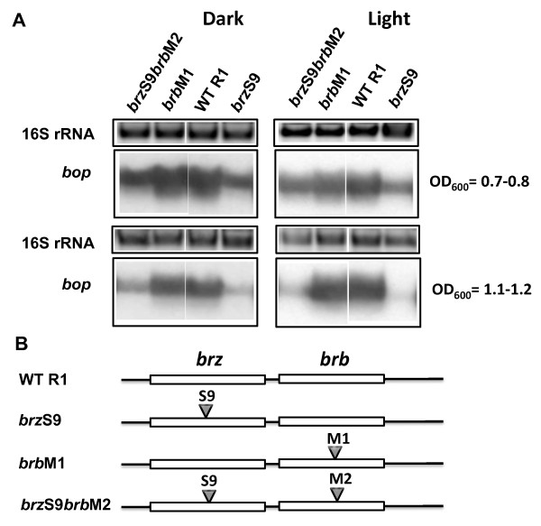Effects of M1 and M2 mutations in the brb genes on bop transcription . In panel A, the upper blocks represent the 16S rRNA bands on the agarose gel stained by ethidium bromide. The lower blocks show northern blots of total cell RNA after probing with labeled DNA fragments containing the bop gene. Cells were grown in the dark and light. Culture OD 600 at which RNA was extracted is given at right. WT R1, wild-type strain R1; brz S9, strain brz S9; brb M1, strain brb M1; brz S9 brb M2, strain brz S9 brb M2. According to densitometry, the levels of bop mRNA (normalized to 16S rRNA) from strain brzS9 were: 58 ± 1% (OD 600 = 07.-0.8), 20 ± 2% (OD 600 = 1.1-1.2) of WT in the dark, and 46 ± 3% (OD 600 = 07.-0.8), 10 ± 1% (OD 600 = 1.1-1.2) in the light; from strain brbM1 they were: 95 ± 2% (OD 600 = 07.-0.8), 129 ± 2% (OD 600 = 1.1-1.2) of WT in the dark, and 82 ± 2% (OD 600 = 07.-0.8), 105 ± 7% (OD 600 = 1.1-1.2) in the light; and from the brzS9brbM2 they were: 74 ± 2% (OD 600 = 07.-0.8), 47 ± 2% (OD 600 = 1.1-1.2) of WT in the dark, and 64 ± 3% (OD 600 = 07.-0.8), 33 ± 3% (OD 600 = 1.1-1.2) in the light. Panel B shows the locations of mutations in the brz and brb genes.