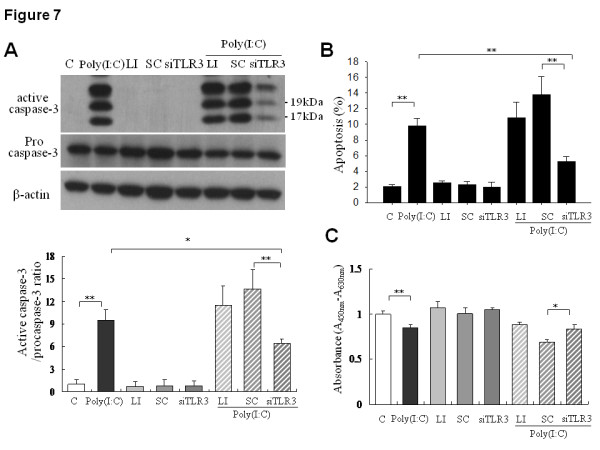Effect of TLR3 knock-down on poly(I:C)-induced apoptosis in SK-N-AS cells . After transfection with siRNA (60 nM) for 24 h, the cells were incubated with poly(I:C) 50 μg/ml or vehicle for another 24 h and were then harvested for assay. C, control; LI, lipofectamine; SC. Scramble control siRNA; siTLR3, TLR3 siRNA. (A) Effect of TLR3 siRNA knockdown on poly(I:C)-induced caspase-3 activation. Arrows indicated the molecular weight of active caspase-3 at 17 and 19 kDa, respectively. Quantification results of caspase-3 activation in different treatment groups were expressed as mean ± SD from triplicate experiments (bottom panel). *: P