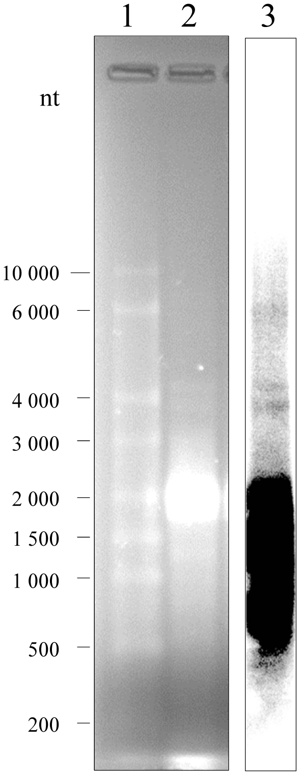 Northern blot analysis of LNCR expression in S. frugiperda adults. Total RNA (15 micrograms) extracted from S. frugiperda adults was denatured, separated on 1.2% agarose gel (lane 2), together with RNA ladder (lane 1) and stained with EtBr. Molecular sizes of RNA ladder (in nucleotides) are indicated on the left of the figure. The RNA was blotted onto nylon membrane and hybridized with a 32 P-labeled LNCR specific DNA probe. The probe (1244 bp) was generated with ncRNA_long primers (see Material and Methods) by PCR, using cDNA of adults as template. Northern blot is shown in lane 3.