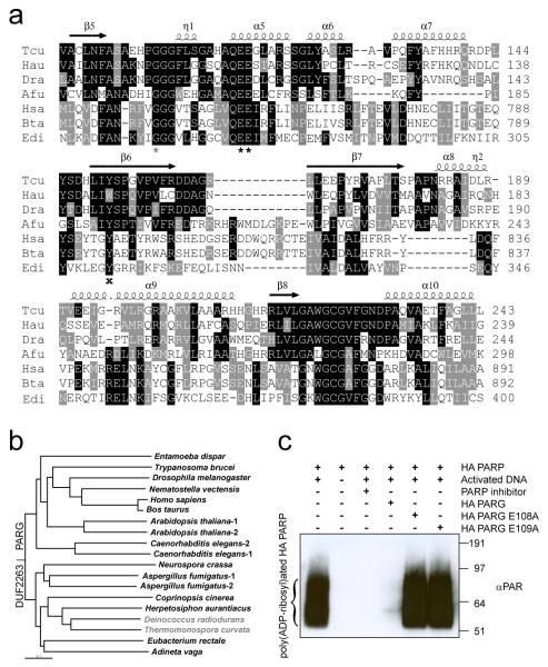 Phylogeny and functional relationship between DUF2263 and canonical-type PARGs a , Multiple sequence alignment of different DUF2263 and PARG proteins from Thermomonospora curvata (Tcu), Herpetosiphon aurantiacus (Hau), Deinococcus radiodurans (Dra), Aspergillus fumigatus (Afu), Homo sapiens (Hsa), Bos taurus (Bta) and Entamoeba dispar (Edi). The two catalytic glutamates, a conserved glycine and tyrosine are marked with black asterisks, grey asterisk and black cross respectively. Secondary structure elements from the Tcu PARG structure are indicated above. b , YmdB-rooted phylogenetic tree of PARGs implied by the neighbour-joining method. Organisms devoid of PARP are marked in grey. c , H. aurantiacus (HA) PARP and PARG enzymes are active as shown by Western blotting with anti-PAR antibodies.
