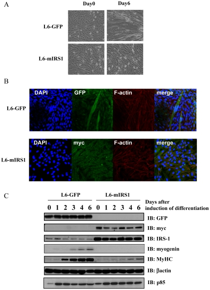 Effects of IRS-1 constitutive expression on myogenic differentiation in L6 myoblasts. A: Differentiation of L6 myoblasts stably expressing GFP (L6-GFP) or myc-IRS1 (L6-mIRS1) was induced by changing medium from 10% FBS-DMEM to 2% FBS-DMEM. At 0 or 6 days after induction of differentiation, cell morphology was shown. B: Differentiation of L6-GFP or L6-mIRS1 cells was induced. Cells were fixed on 6 days after induction of differentiation and stained with DAPI (blue) or phalloidine (red). C: Differentiation of L6-GFP cells or L6-mIRS1 cells was induced. Cells were lysed on the indicated day (0, 1, 2, 3, 4 or 6: days after induction of differentiation). Ten µg of total cell lysates was separated by SDS-PAGE, and subjected to immunoblotting analyses with indicated antibodies ( IB ). These are representative immunoblots independently performed three times.