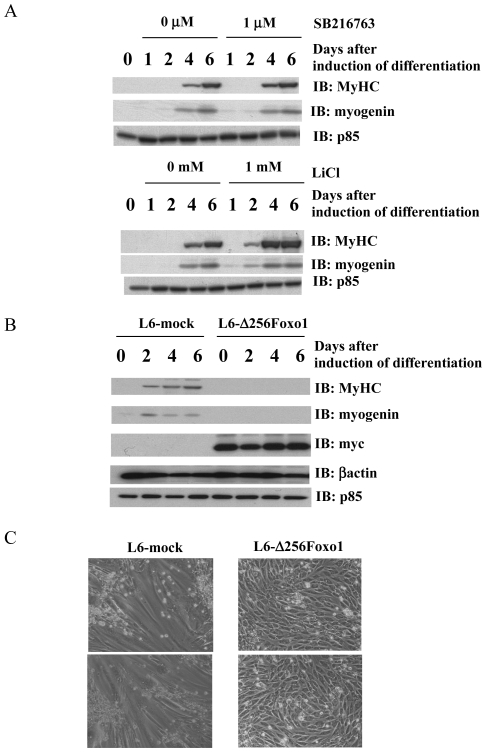 Effects of Foxo1 (Δ256) expression on myogenic differentiation. A: Differentiation of L6 myoblast cells were induced by changing medium from 10% FBS-DMEM to 2% FBS-DMEM. During induction of differentiation, various concentrations of SB216763 (a specific inhibitor to GSK3) or LiCl were added to the medium. Cells were harvested at the indicated day after induction of differentiation. Immunoblotting analyses were carried out using indicated antibodies ( IB ). These are representative immunoblots independently performed three times. B: Differentiation of L6 myoblast cells stably expressing dominant interfering form of Foxo1 (L6- Δ 256Foxo1) and cells infected with mock retrovirus vector (L6-mock) were induced by exchanging medium containing 2% FBS from 10% FBS. Cells were lysed on the indicated day (0, 1, 2, 4 or 6: days after induction of differentiation). Ten µg of total cell lysates were separated by SDS-PAGE, and subjected to immunoblotting analyses with indicated antibodies ( IB ). These are representative immunoblots independently performed three times. C: At 6 days after induction of differentiation, cell morphology was shown.