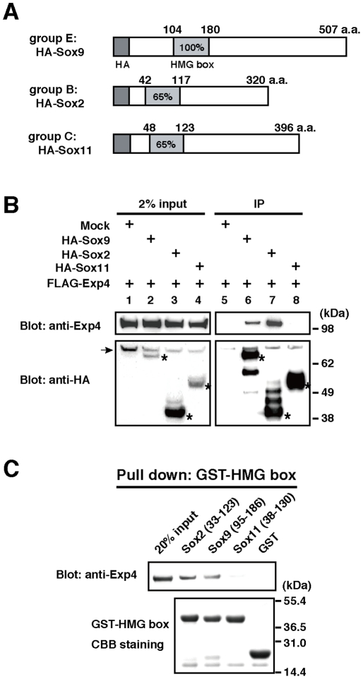 Interaction of Exp4 with Sox family members. (A) Schematic representation of HA-tagged Sox proteins used in this study. The numbers indicate the amino acid residues. The HMG box domain is shown as a light gray box. The percentage of amino acid identity with the amino acid sequence of the HMG domain of Sox9 is given. (B) The panels show HA-affinity purification of proteins from extracts of HEK293 cells which were transiently transfected with FLAG-Exp4 and HA-Sox9, HA-Sox2, or HA-Sox11. Mock refers to the empty control plasmid. Starting materials (2% input) and bound fractions (IP, immunoprecipitation) were analyzed by NuPAGE and Western blotting. HA-tagged proteins are asterisked in the lower panels. The arrow indicates nonspecific bands. (C) The GST-fused HMG box domains of each Sox protein were separated by NuPAGE and stained with CBB (lower panel). The fusion proteins were incubated with recombinant Exp4 proteins. Proteins bound to glutathione-Sepharose were analyzed by Western blotting with anti-Exp4 antibody (upper panel). 20% input represents the control.